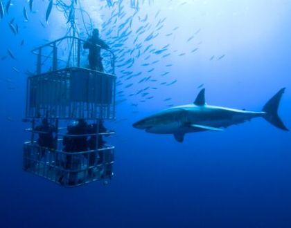 White shark project       إغطس مع القرش
