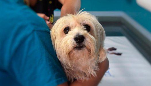 Leishmania canina: peligros y prevención
