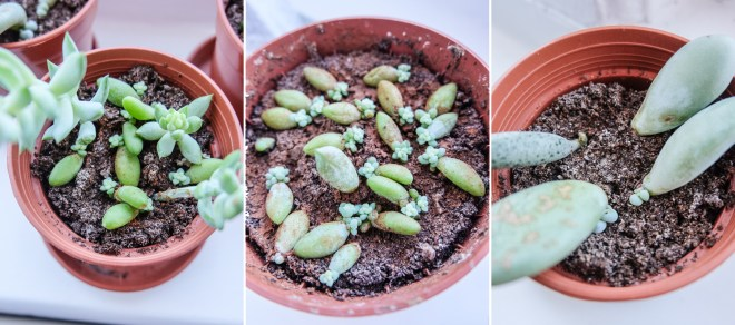 Propagating succulents in the window | Hello Victoria