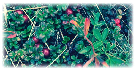 Wild blueberries and Indian Tea berries