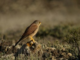 "Common Kestrel (Eastern Canary Island sub-species), ""El Rubicon"" plains, Lanzarote"
