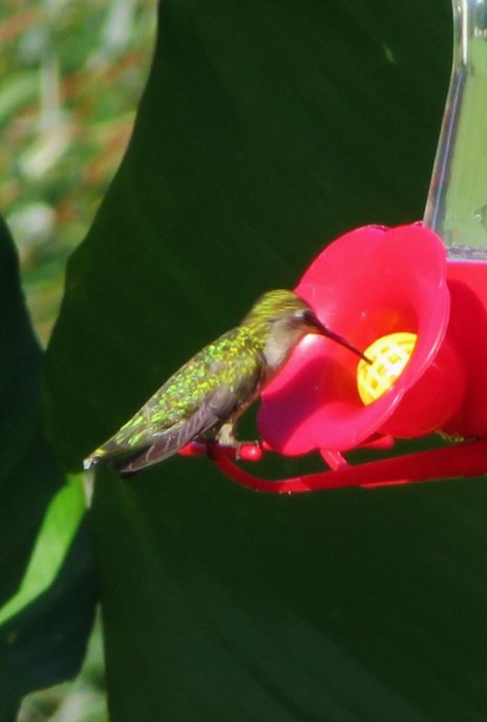 A hummingbird feeding.