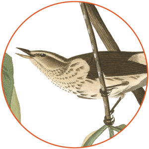 louisianawaterthrush1