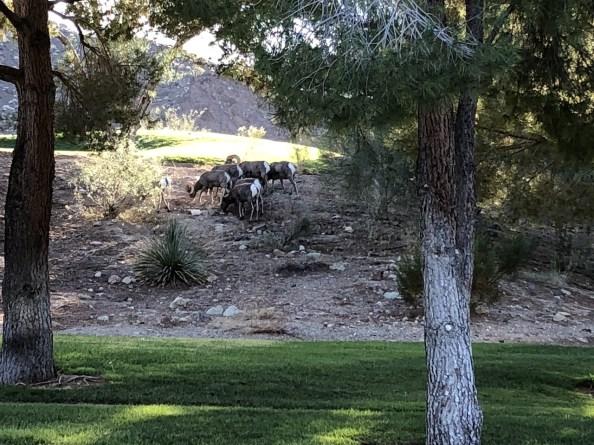 Lake-Las-Vegas-guard-gated-homes-bighorn-sheep