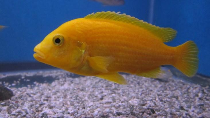 Lemon Cichlid
