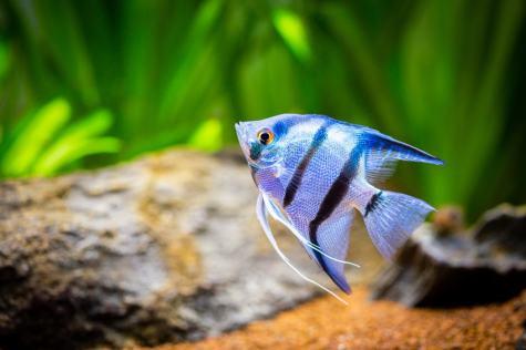 Cobalt Angel Fish