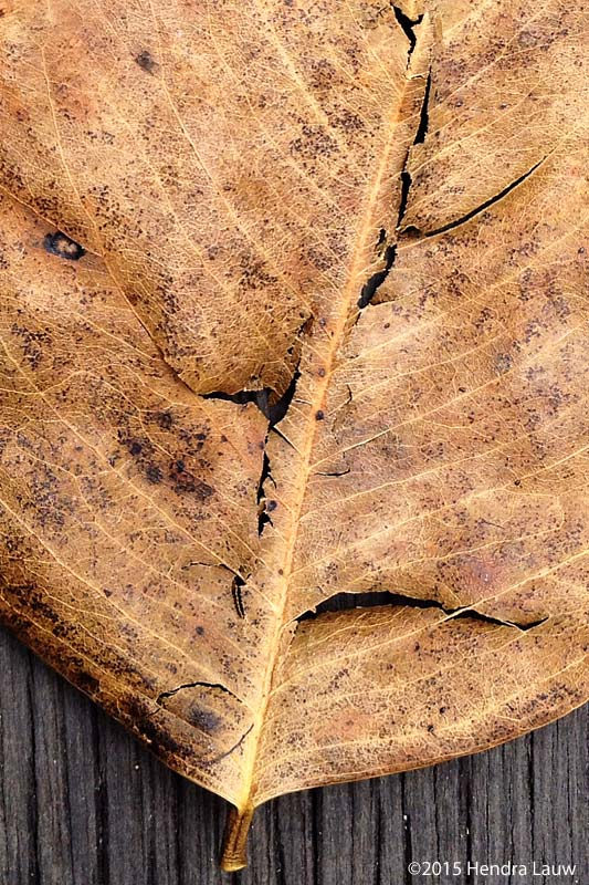 iPhone Photography – Dried Leaf