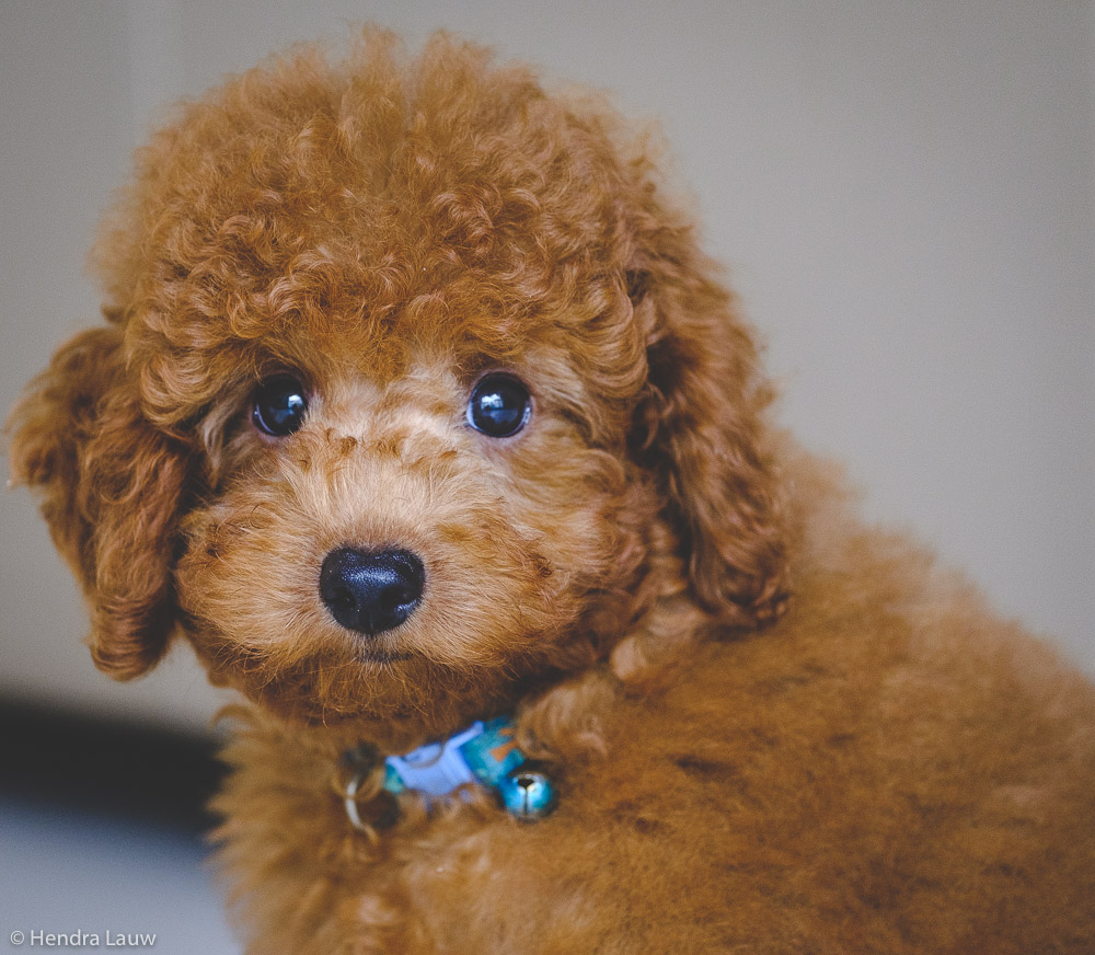 A toy poodle by Hendra Lauw