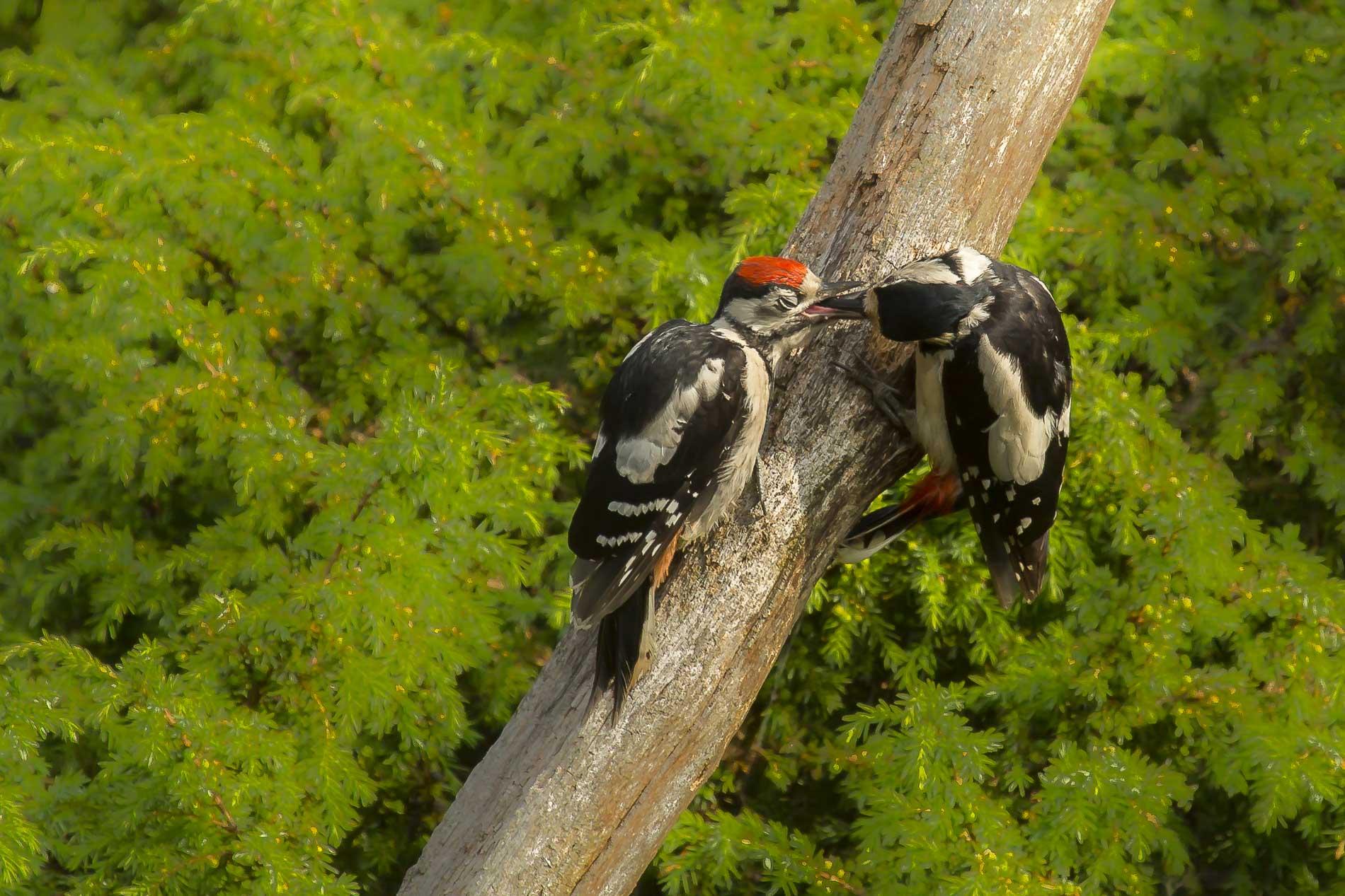 Bonte spechten - Woodpeckers