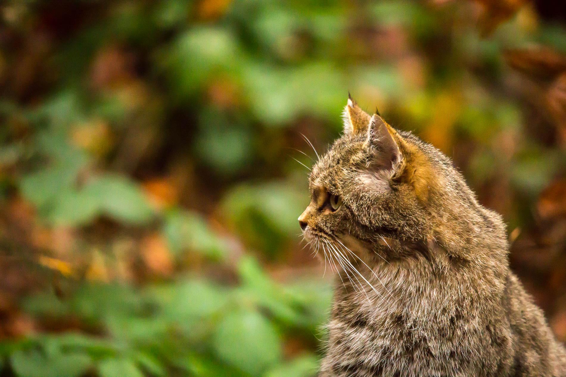 Wild cat - Bayerischer Wald - Germany