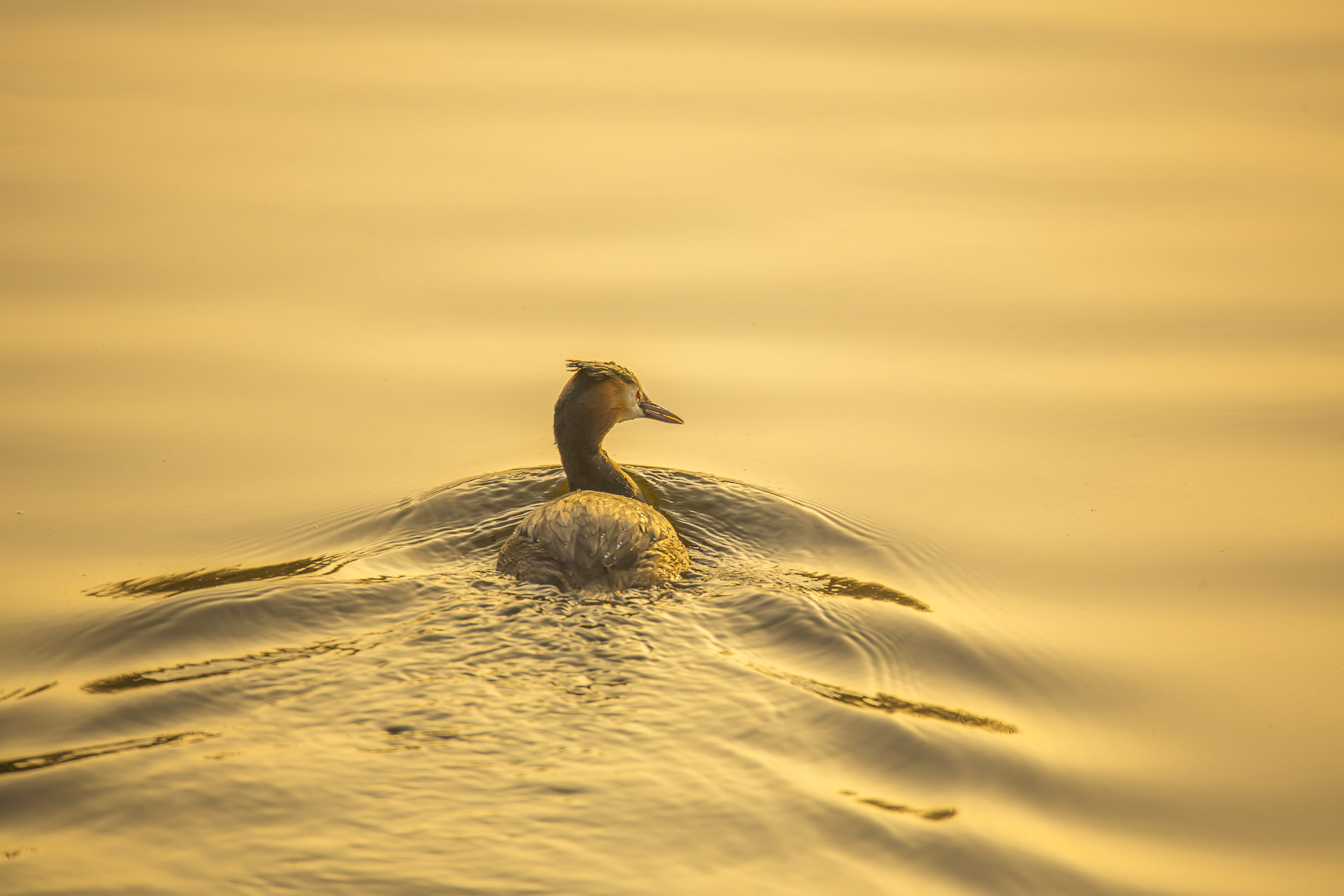 Fuut - Great Crested Grebe - Netherlands