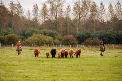 Cattle cutting with the Henson horses at the Haras-Henson of Rue