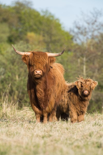 Highland Cattle at the Haras-Henson, Saint-Jean-les-Rue Farm