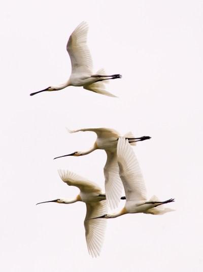 Flight of spatulas in the Domaine du Marquenterre