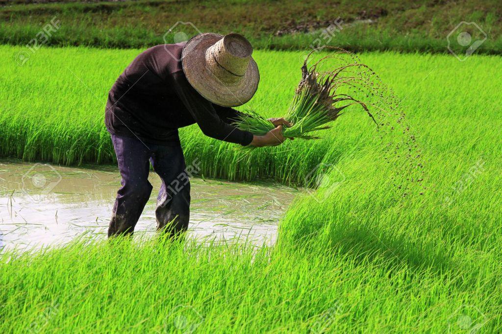 14556294-farmer-on-the-rice-farm-stock-photo