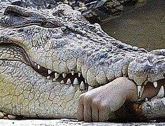 Crocodile chewing arm