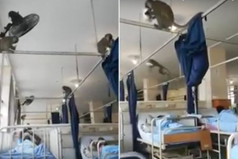 monkeys in south african hospital