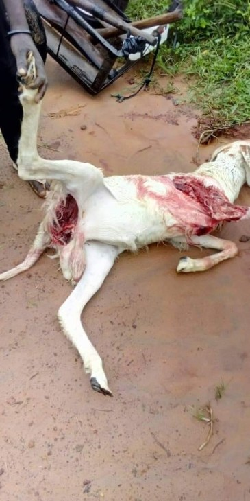 Panic as unknown animal repeatedly rips through Rams and goats in Abuja