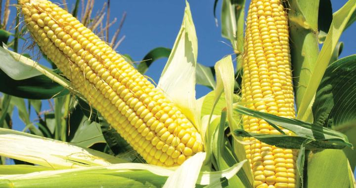 zimbabwe maize stock dwindle
