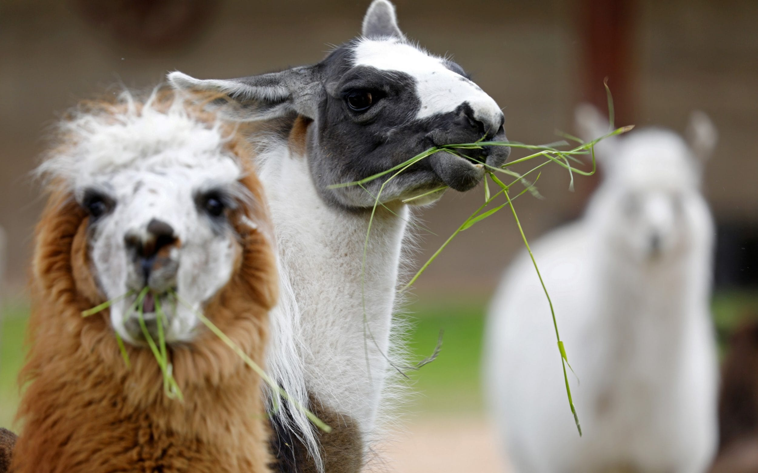 Researchers from Australia's nuclear science agency have revealed that the unique immune system of alpacas could hold the key to coronavirus breakthroughs. The Australian Nuclear Science and Technology Organisation (ANSTO) and Walter and Eliza Hall Institute (WEHI) said on Tuesday that they are studying alpaca antibodies in the search for therapies for COVID-19. By immunising […]