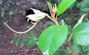 צמח מרפא סיני
