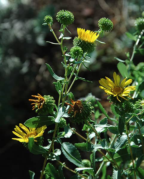 grindelia plant