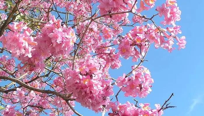 pau d'arco herb flowers