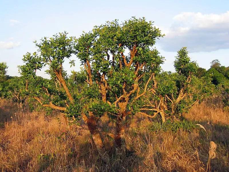 yerba mate tree