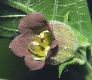 belladonna poisoning