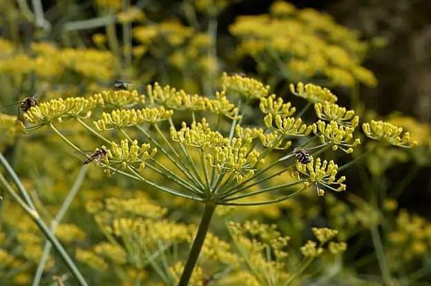 fennel herb