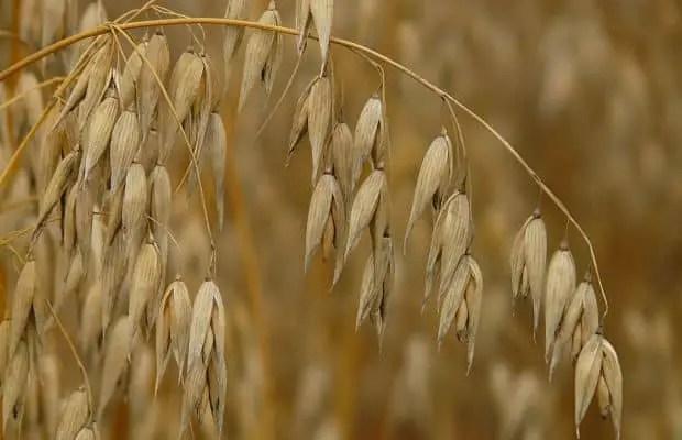 oat straw plant