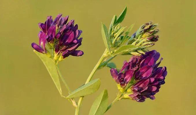 alfalfa plant (Medicago sativa)