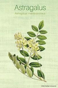 Medicinal Herb Astragalus