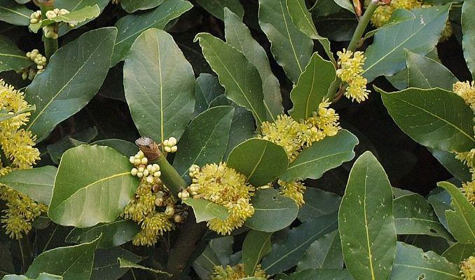 Bay Laurel Uses in Herbal Medicine