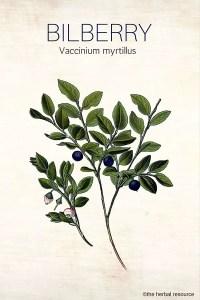 Bilberry Herb (Vaccinium myrtillus)
