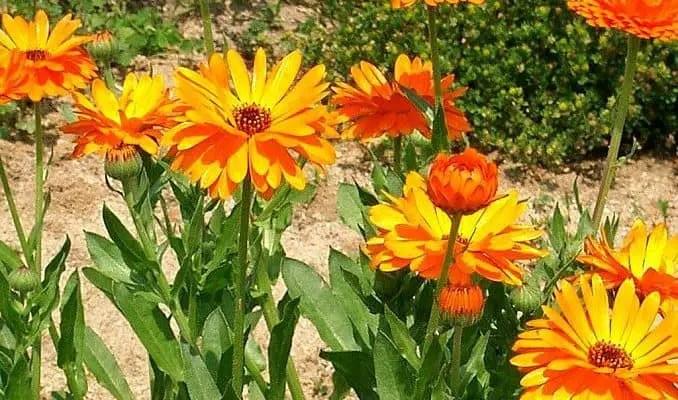 Calendula - Herbal Remedy