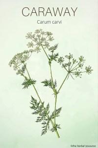 Caraway - Medicinal Herb