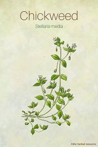 Chickweed Herb Side Effects Uses And Health Benefits