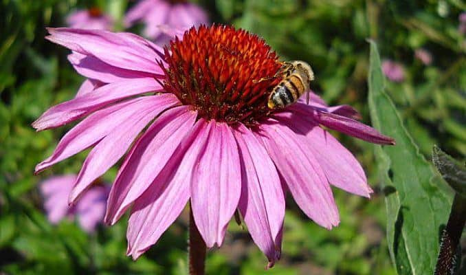 Bee Collecting Nectar from Echinacea purpurea