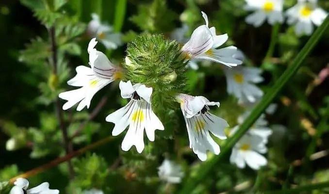 Eyebright Flowers (Euphrasia officinalis)