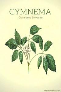 Gymnema Sylvestre - Illustration