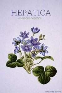 Hepatica (Anemone hepatica)