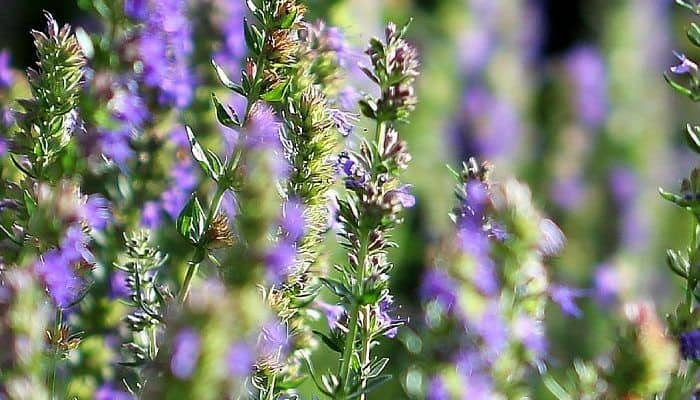 Hyssop in Bloom