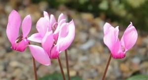 Cyclamen purpurascens flowers