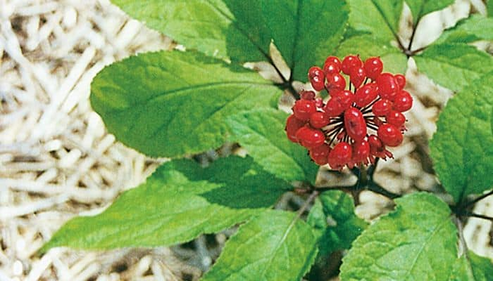 Panax Ginseng - Herbal Medicine