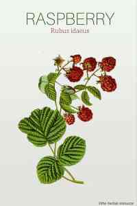 Raspberry Rubus idaeus