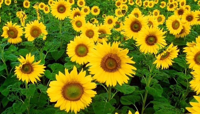 Sunflowers Herbal Medicine