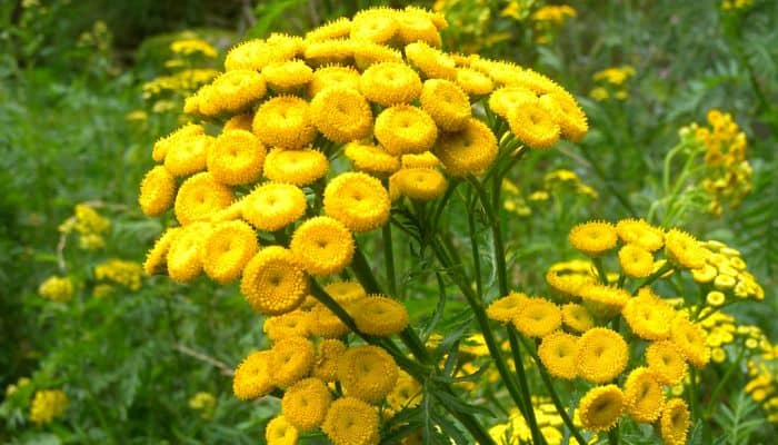 Tansy Herb - Side Effects and Health Benefits