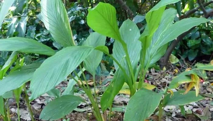 turmeric herb