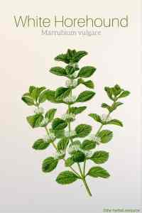 White Horehound Marrubium vulgare